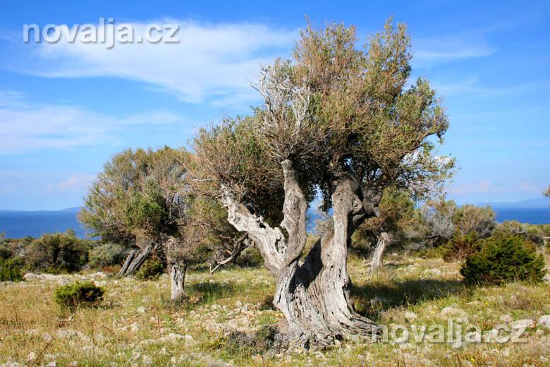 Storočné olivovníky Lun aTovarnele